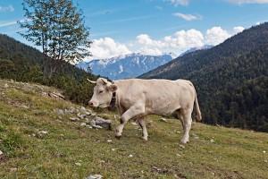 Charolais Rind auf der Esterberg Alm
